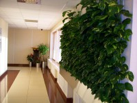 Зелёная стена из Эпипремнума ( сциндапсус)