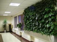 Зелёная стена из Эпипремнума( сциндапсус)