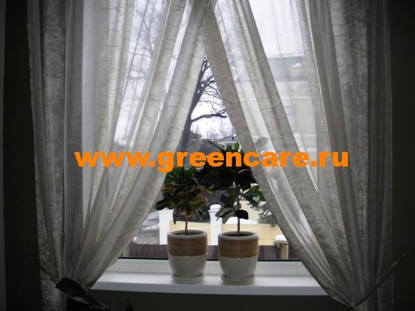 Уход за комнатными растениями фикус
